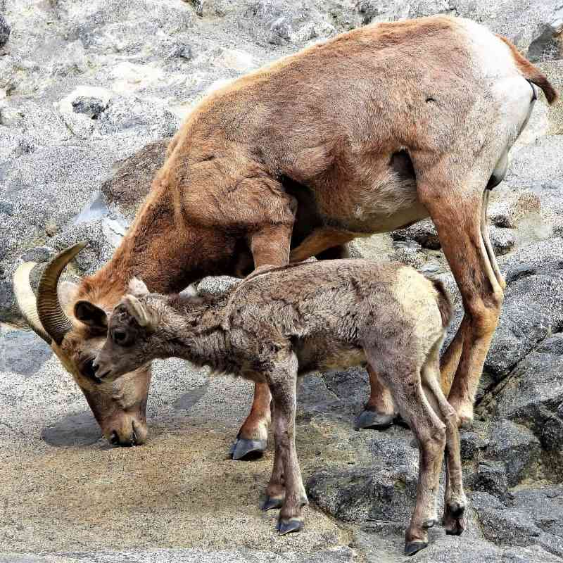 Desert bighorn sheep ewe and lamb