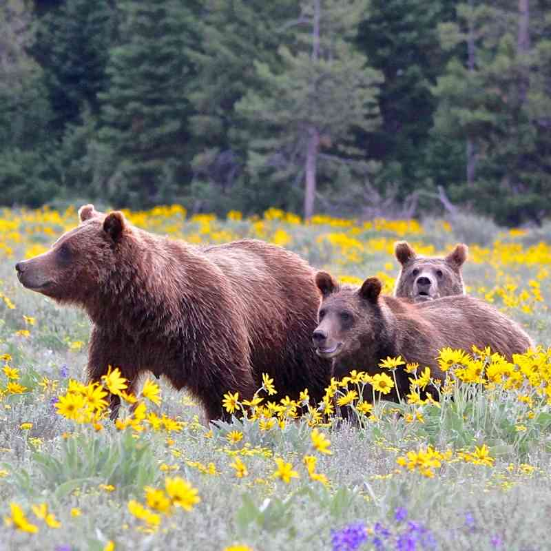 Grizzly mother and yearling cubs in Grand Teton NP in yellow flowers