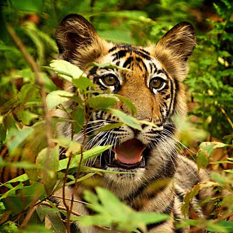Tiger cub in Bandhavgarh