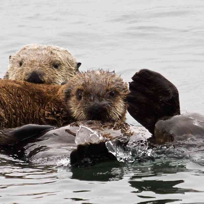 Sea otter family in Morro Bay California