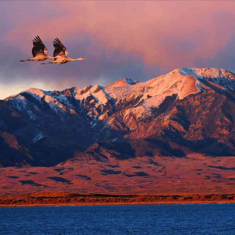 Pair of sandhill cranes flying above Great Sand Dunes National Park