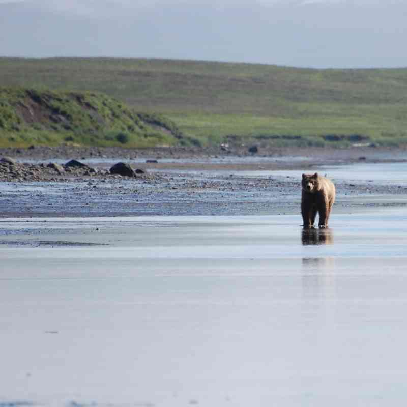Brown bear in Kinzarof Lagoon Izembek National Wildlife Refuge