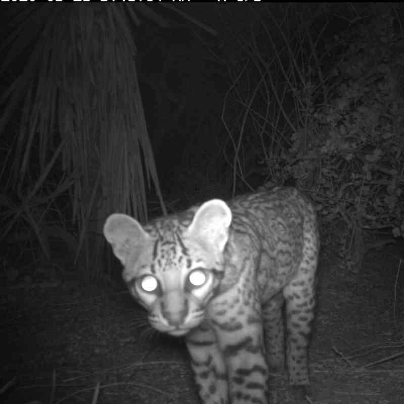 ocelot caught on camera