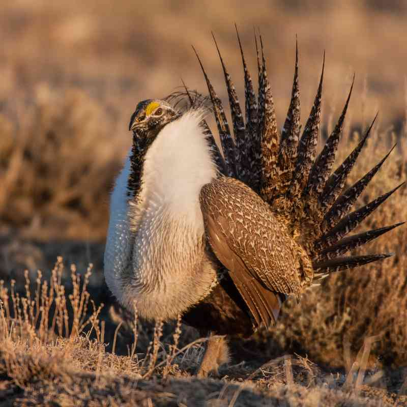 Greater Sage Grouse - Wyoming