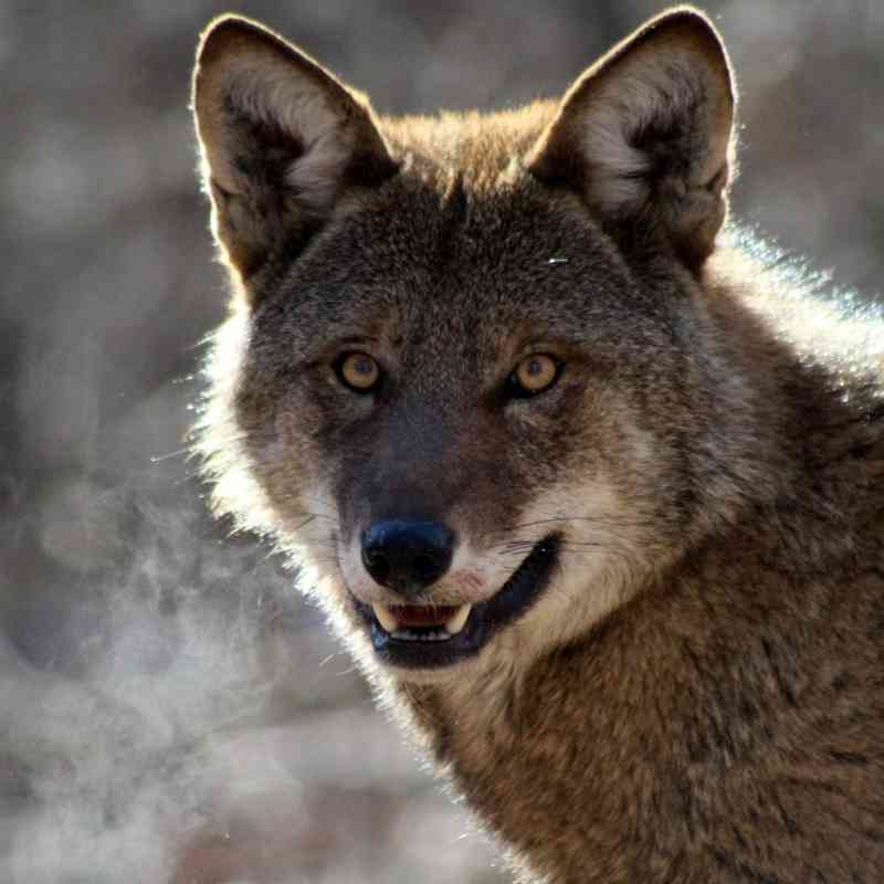 Red wolf staring directly into camera