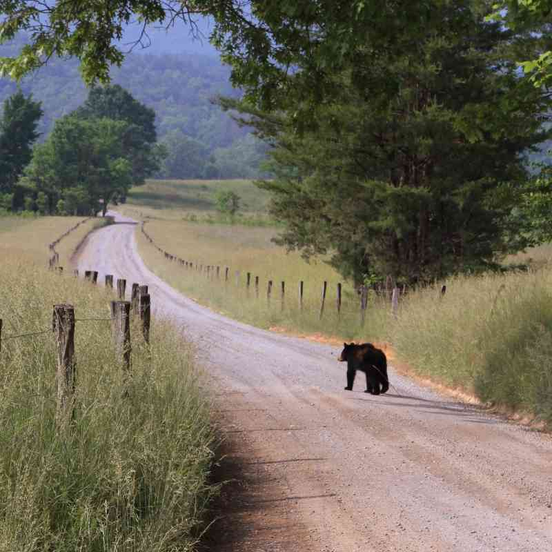 Black bear walking down Hyatt Lane Great Smoky Mountains National Park