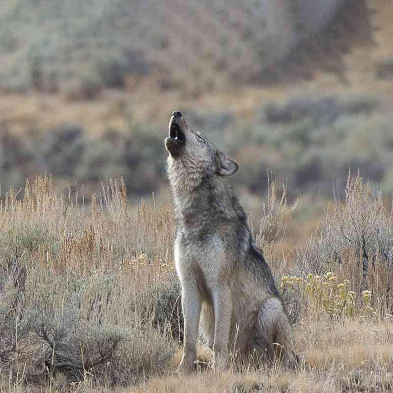 Howling gray wolf yellowstone