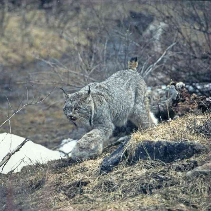 Canada lynx walking through bushes in Rio Grande National Forest