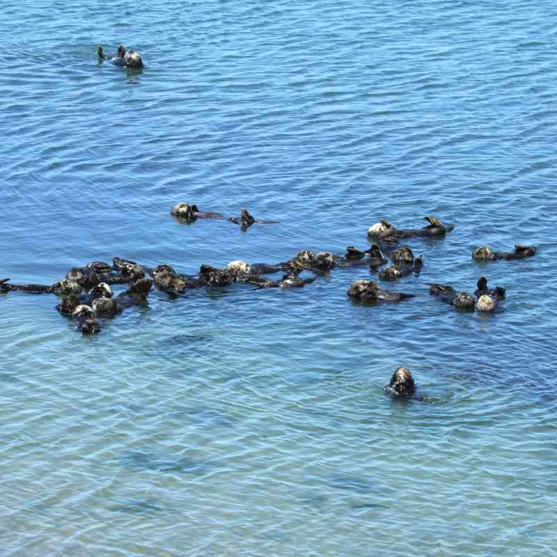 Southern sea otters float at Moss Landing, California.