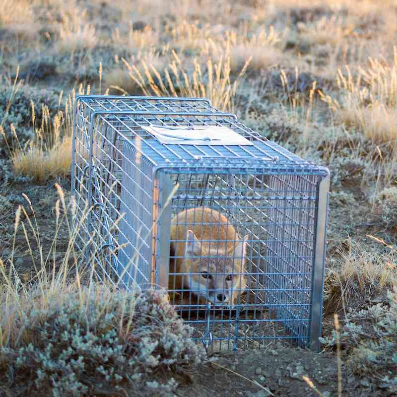 Fox in a cage in brush