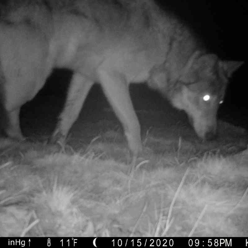 Gray wolf caught on camera trap sniffing