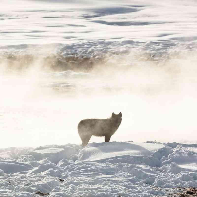 Gray wolf of the Wapiti Lake Pack is silhouetted by a nearby hot spring