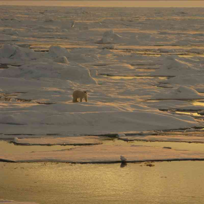 Polar bear on sea ice with sunset glow