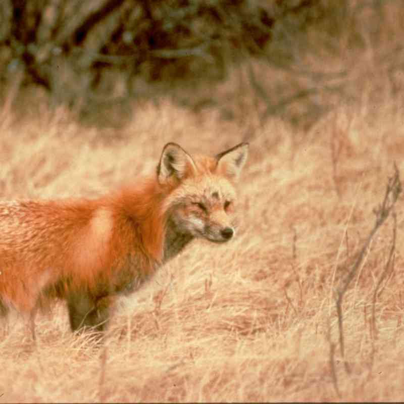 Sierra Nevada red fox walking through grass