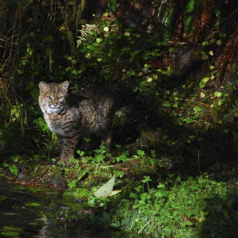 Bobcat along Taft Creek