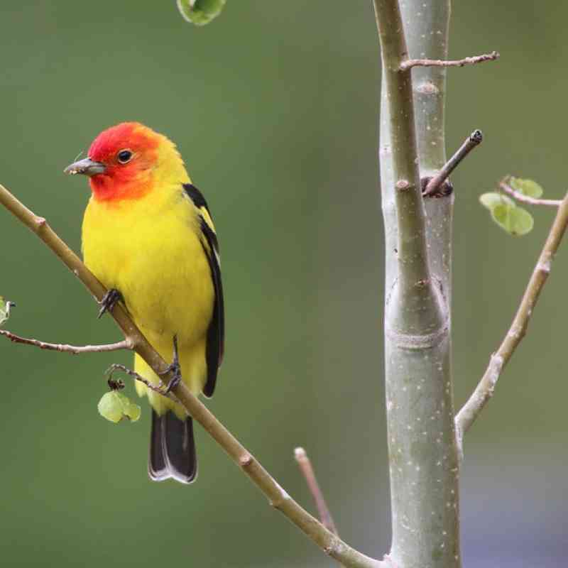 Male western tanager on a tree