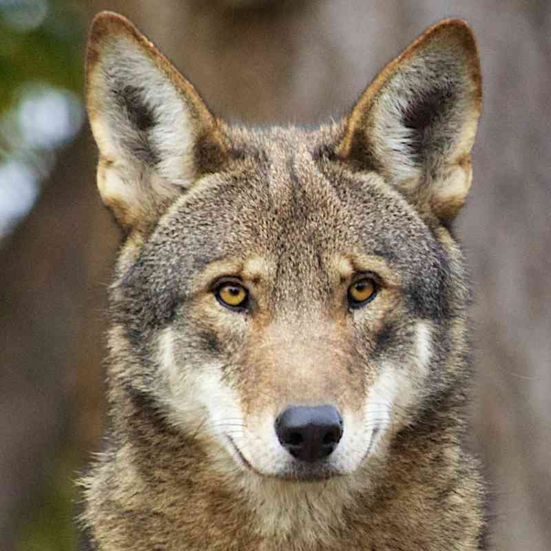 Red wolf staring straight on