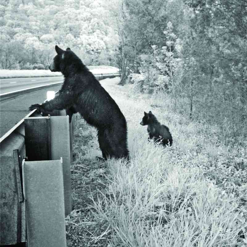 Bear and cubs standing at guardrail
