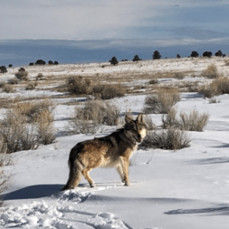 Member of the Pitchfork Canyon Wolf Pack Standing in Snow Covered Field