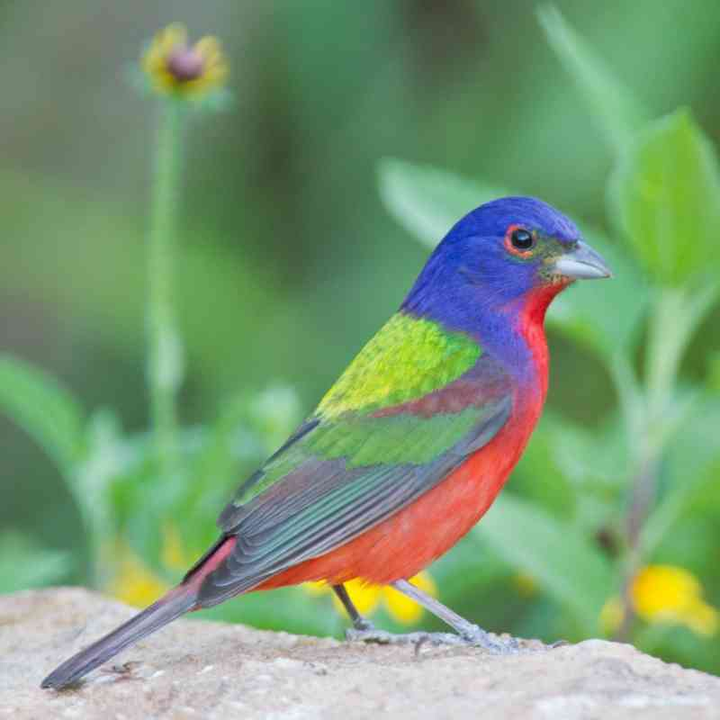 Painted bunting on ground