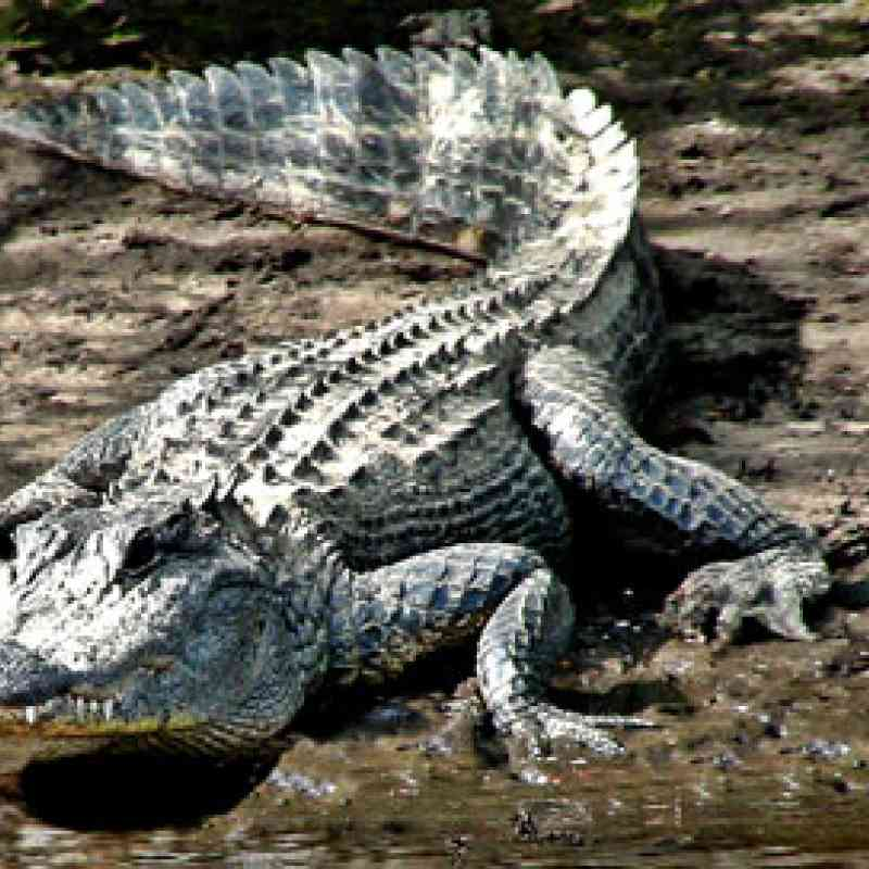 alligator, © Dolores Rose