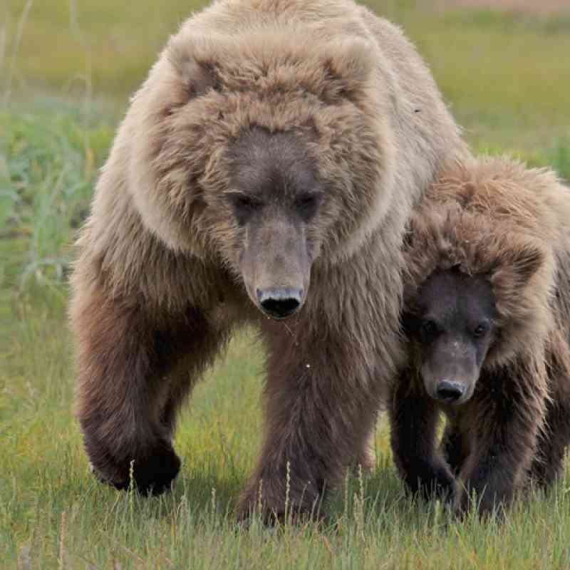 Grizzly with cub, © Natalie Shuttleworth