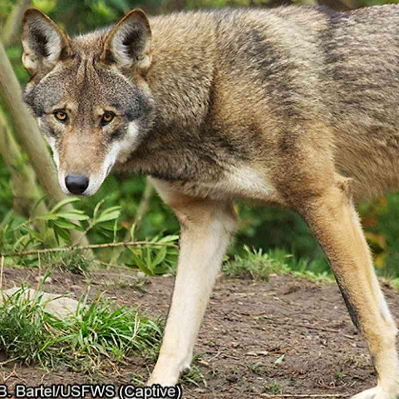 Red Wolf | Defenders of Wildlife
