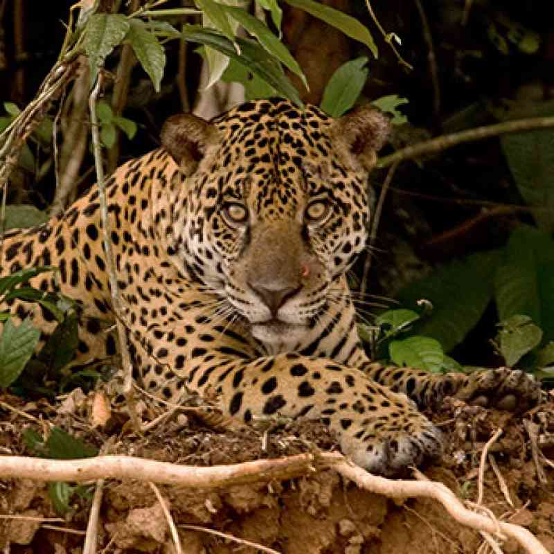 What Do Jaguars Eat >> Jaguar Defenders Of Wildlife