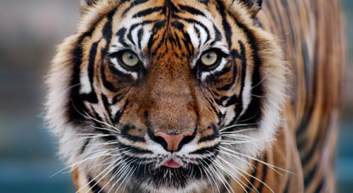 what you can do to help tigers defenders of wildlife