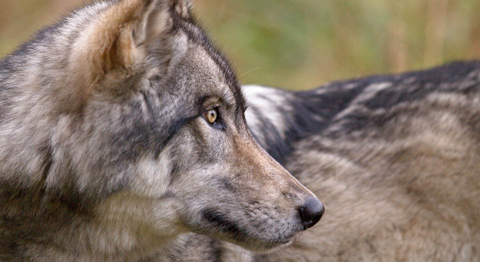 victory for wolves in wyoming