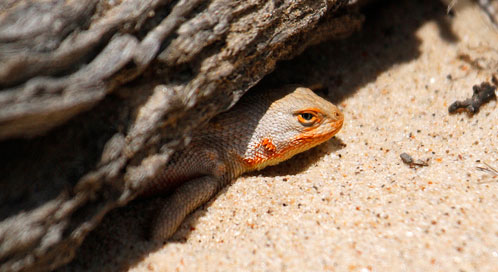 dunes-sagebrush-lizard-Mark-L-Watson-Flickr.jpg
